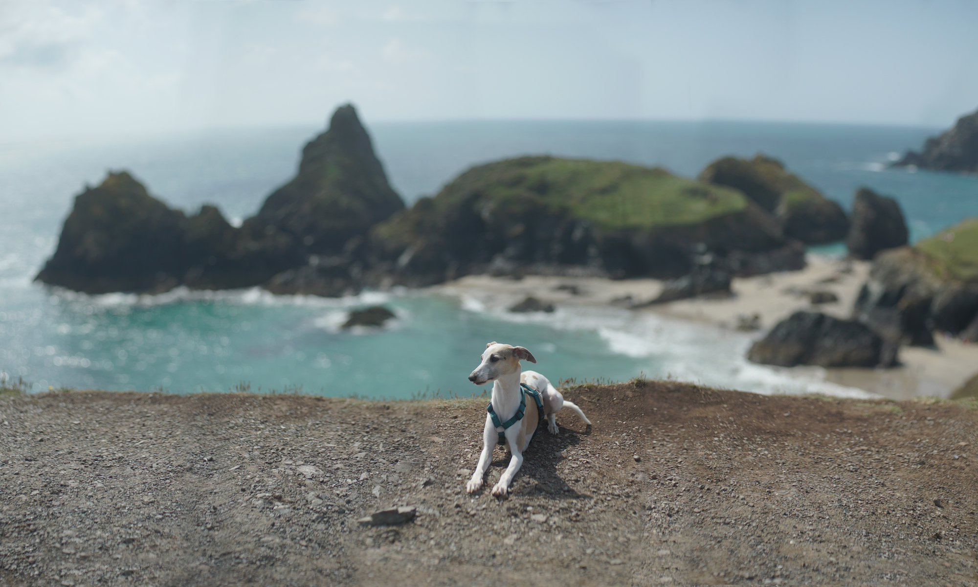 Polly Whippet